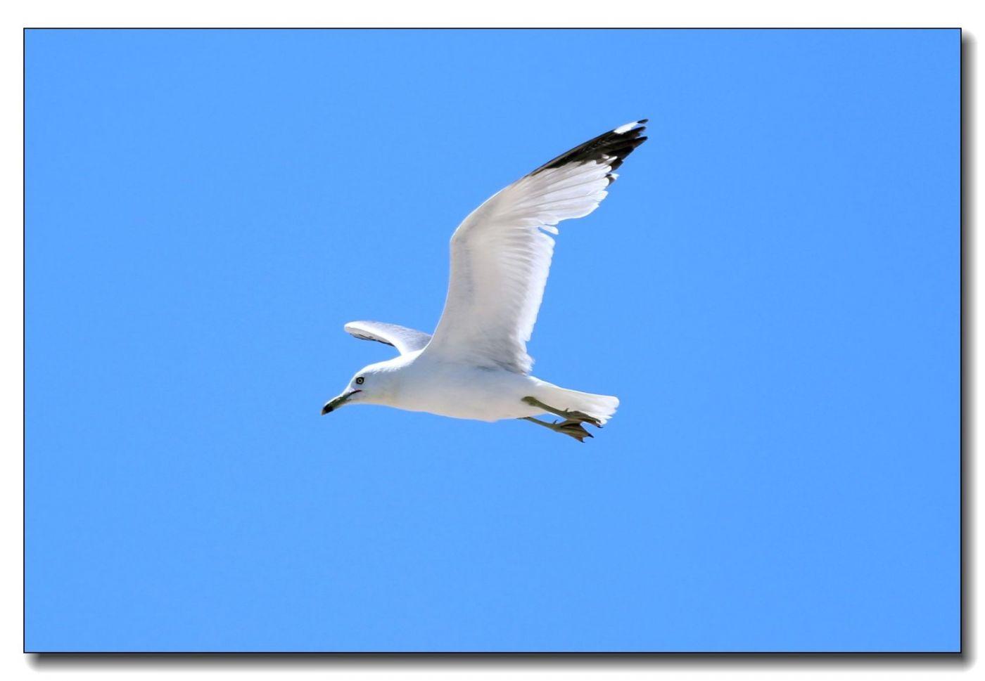 洛克威海滩拍鸟-银鸥_图1-2