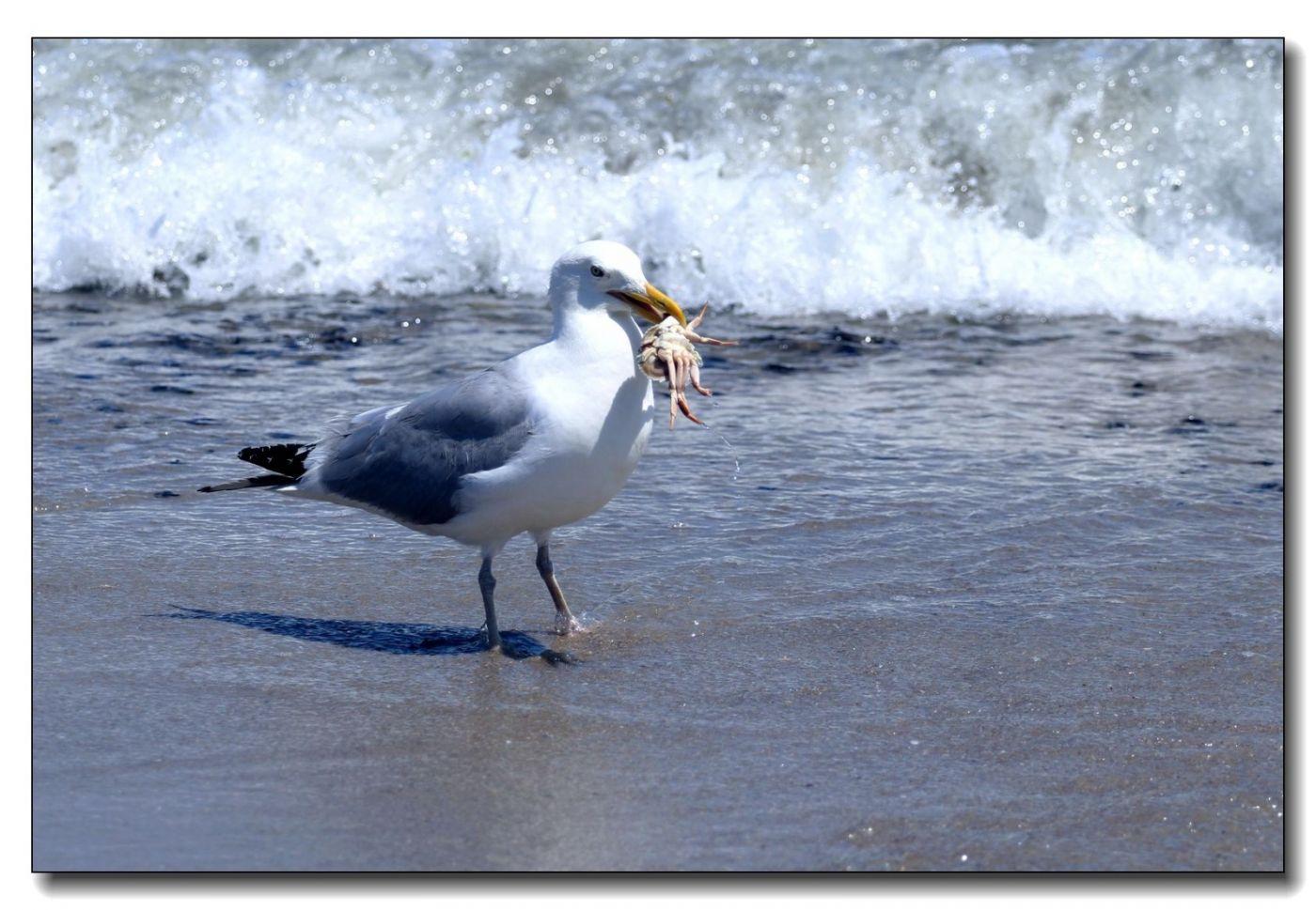 洛克威海滩拍鸟-银鸥_图1-3