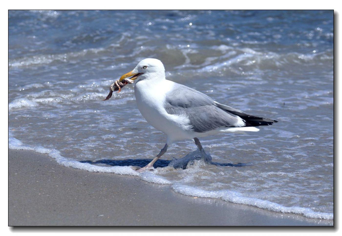 洛克威海滩拍鸟-银鸥_图1-4
