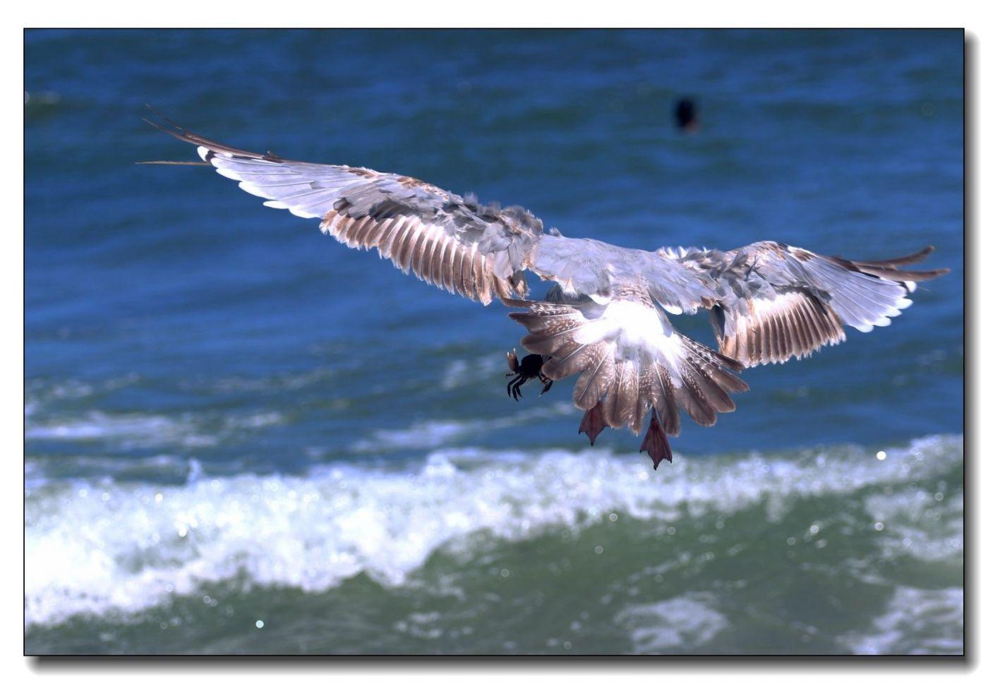 洛克威海滩拍鸟-银鸥_图1-5