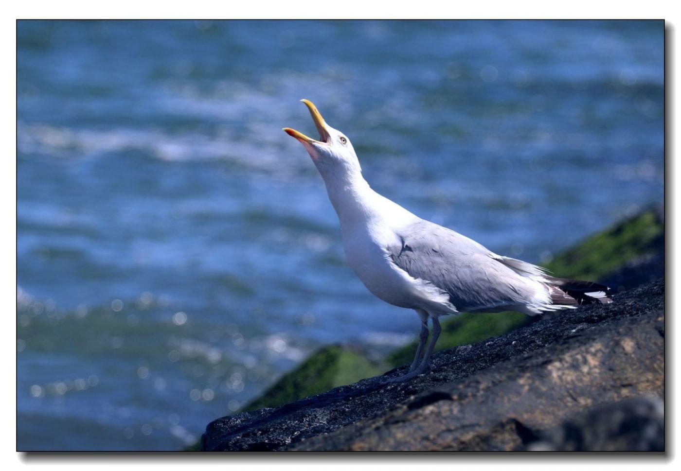 洛克威海滩拍鸟-银鸥_图1-6