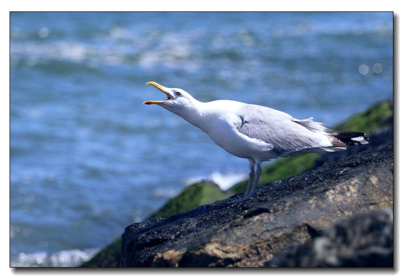 洛克威海滩拍鸟-银鸥_图1-7