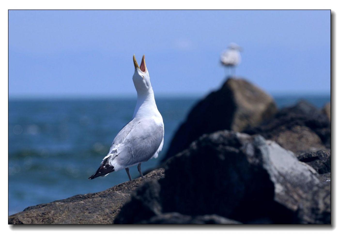 洛克威海滩拍鸟-银鸥_图1-8