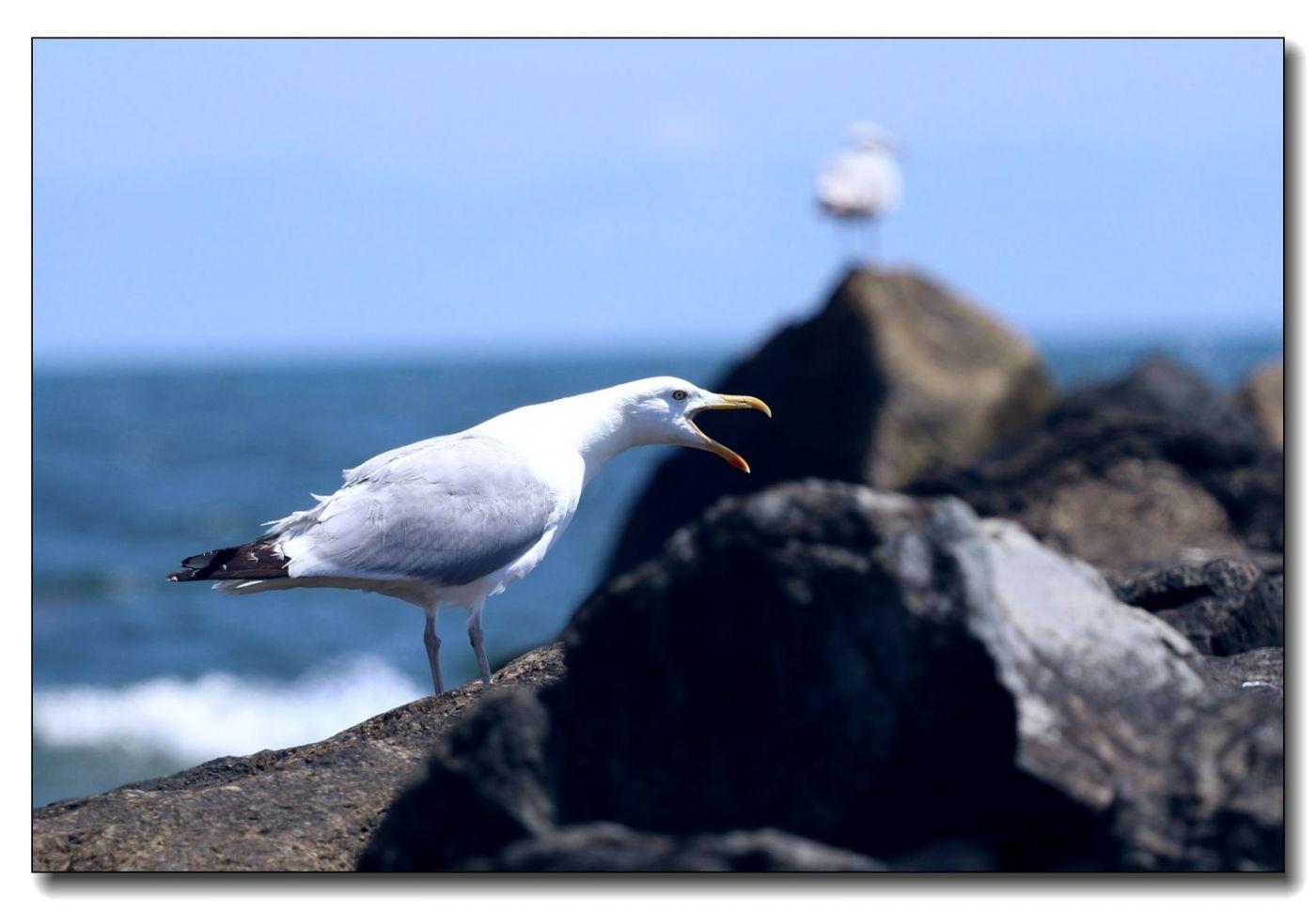洛克威海滩拍鸟-银鸥_图1-9