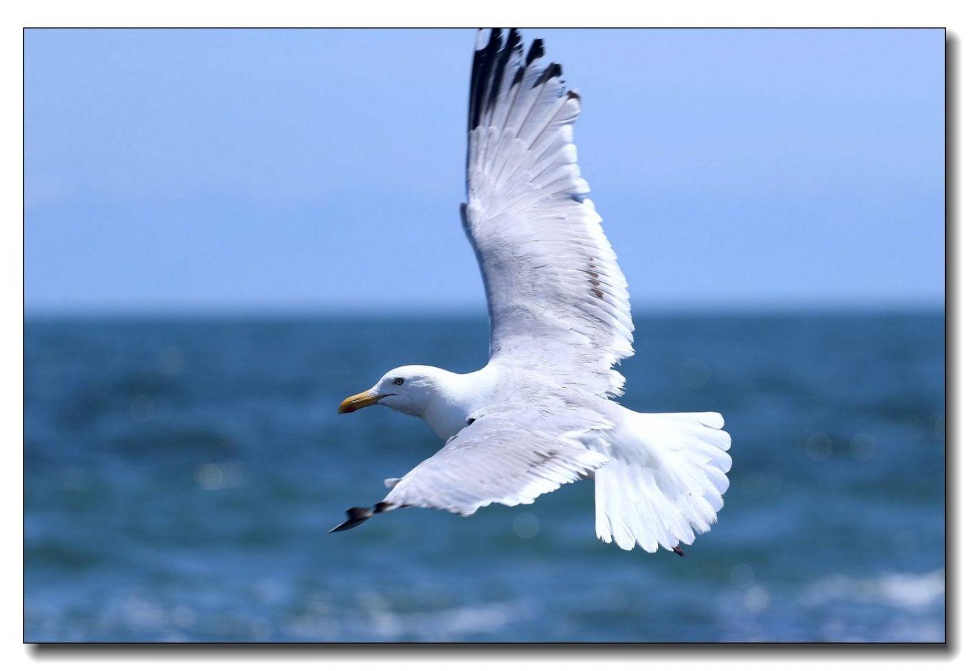 洛克威海滩拍鸟-银鸥_图1-10