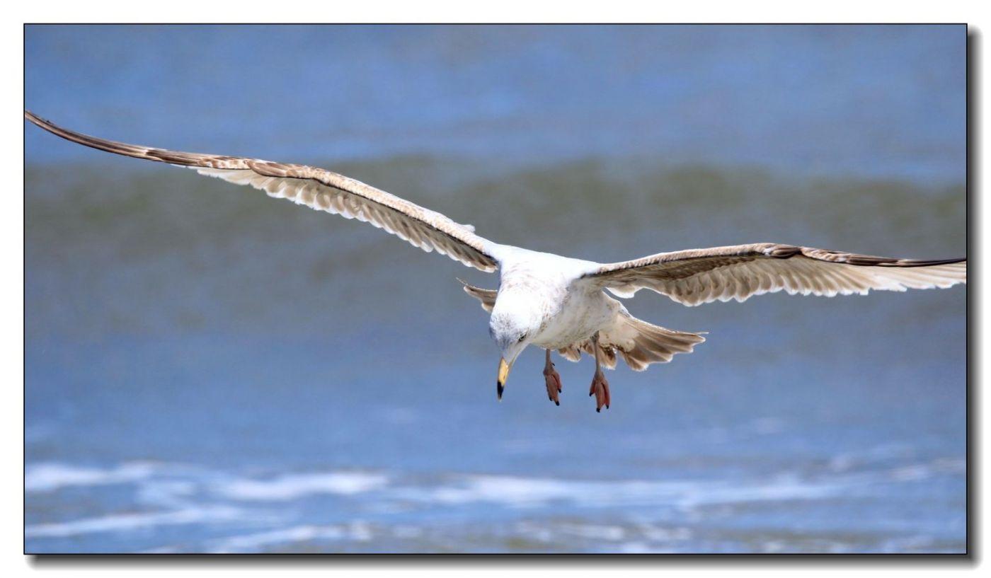 洛克威海滩拍鸟-银鸥_图1-11