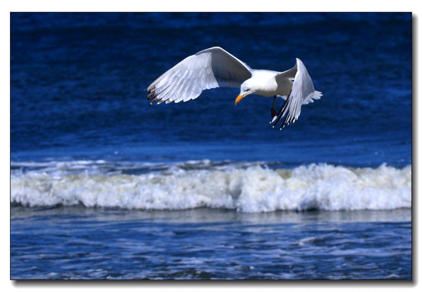 洛克威海滩拍鸟-银鸥_图1-12