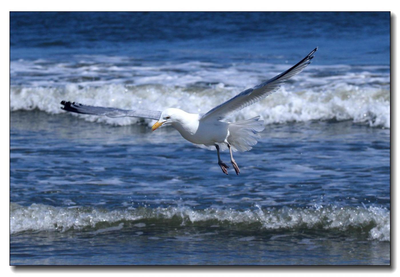 洛克威海滩拍鸟-银鸥_图1-13
