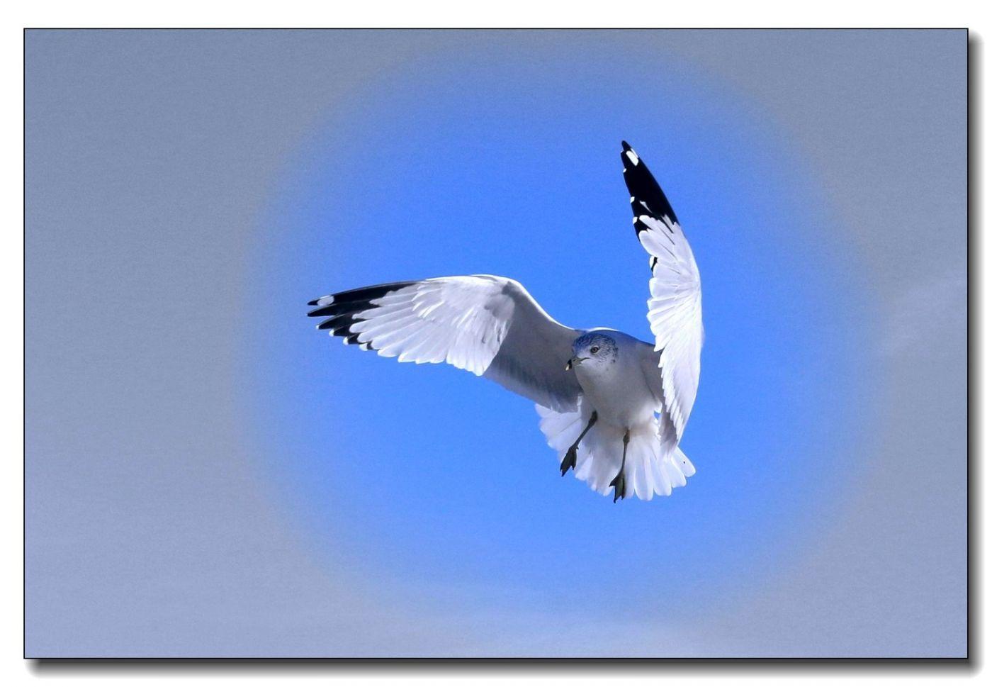 洛克威海滩拍鸟-银鸥_图1-14