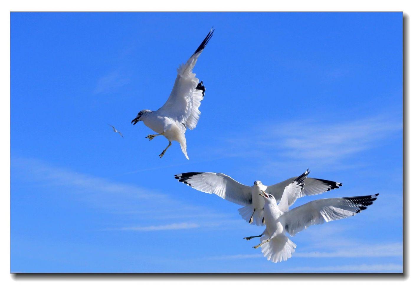 洛克威海滩拍鸟-银鸥_图1-15