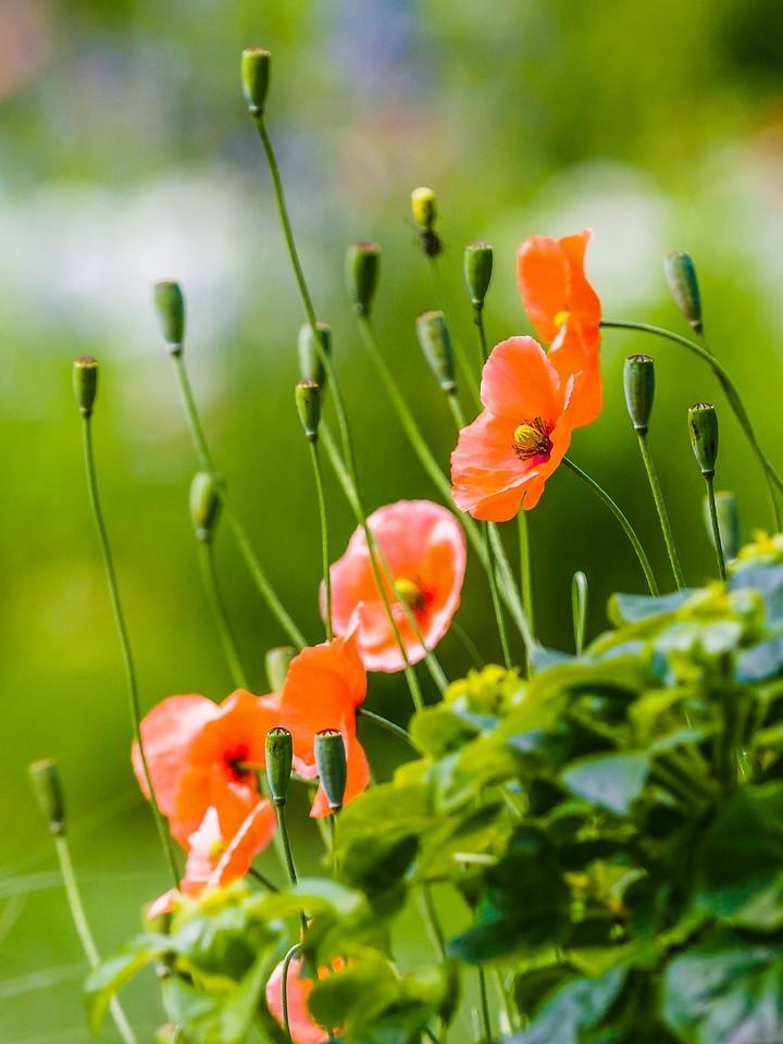 罂粟花,羞涩内敛_图1-2