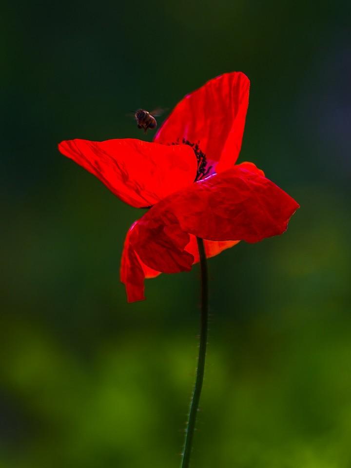 罂粟花,羞涩内敛_图1-11