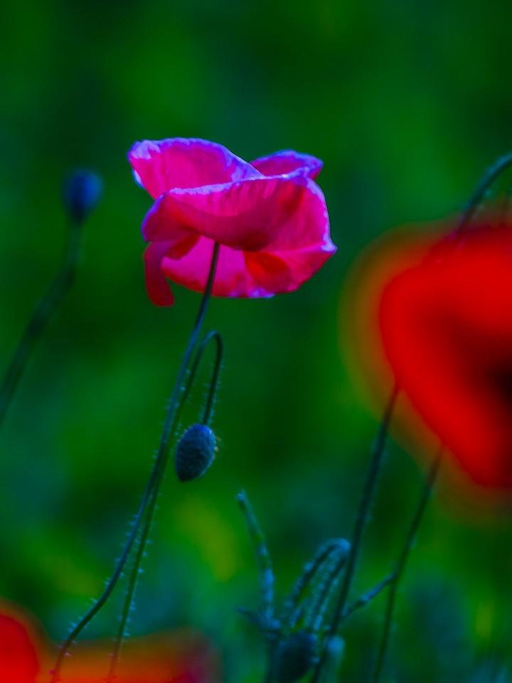 罂粟花,羞涩内敛_图1-26