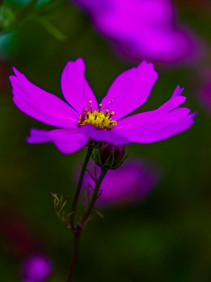 罂粟花,羞涩内敛_图1-23