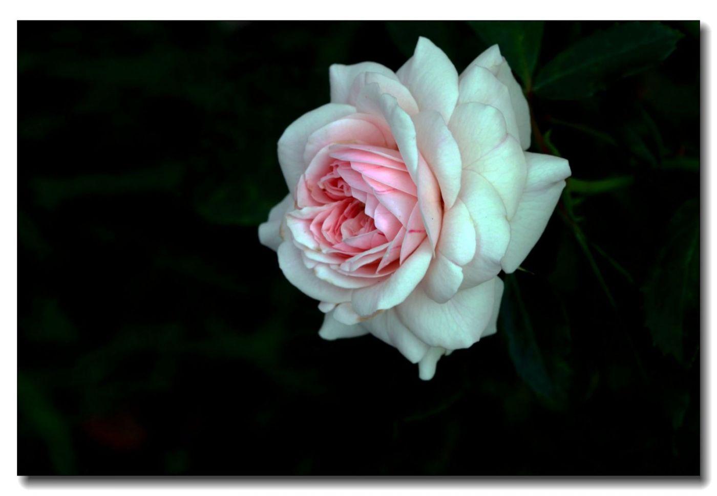 秋季玫瑰仍飘香_图1-1