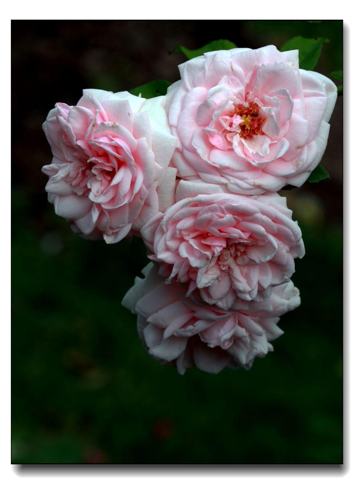 秋季玫瑰仍飘香_图1-2
