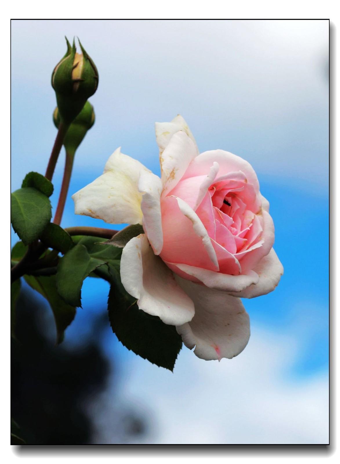 秋季玫瑰仍飘香_图1-5