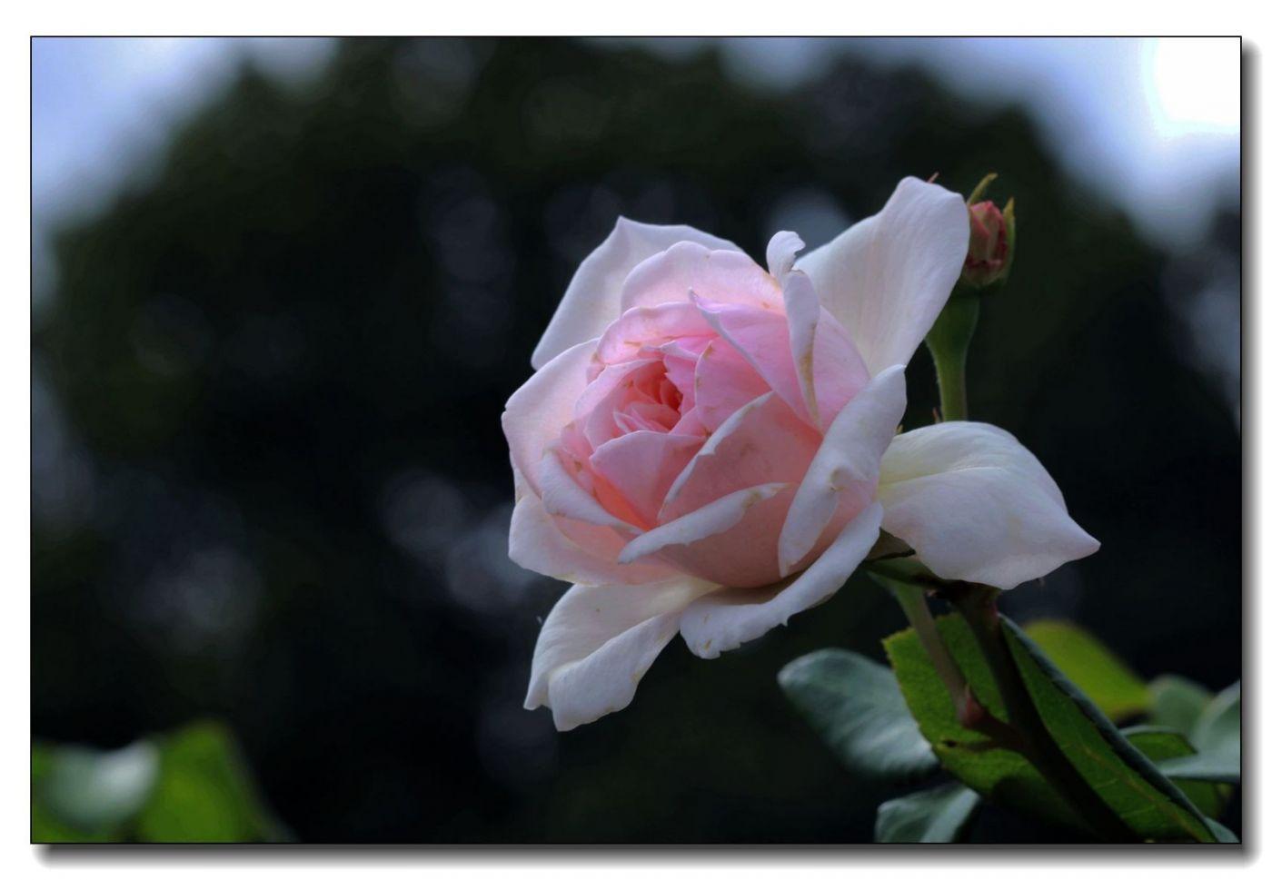 秋季玫瑰仍飘香_图1-6