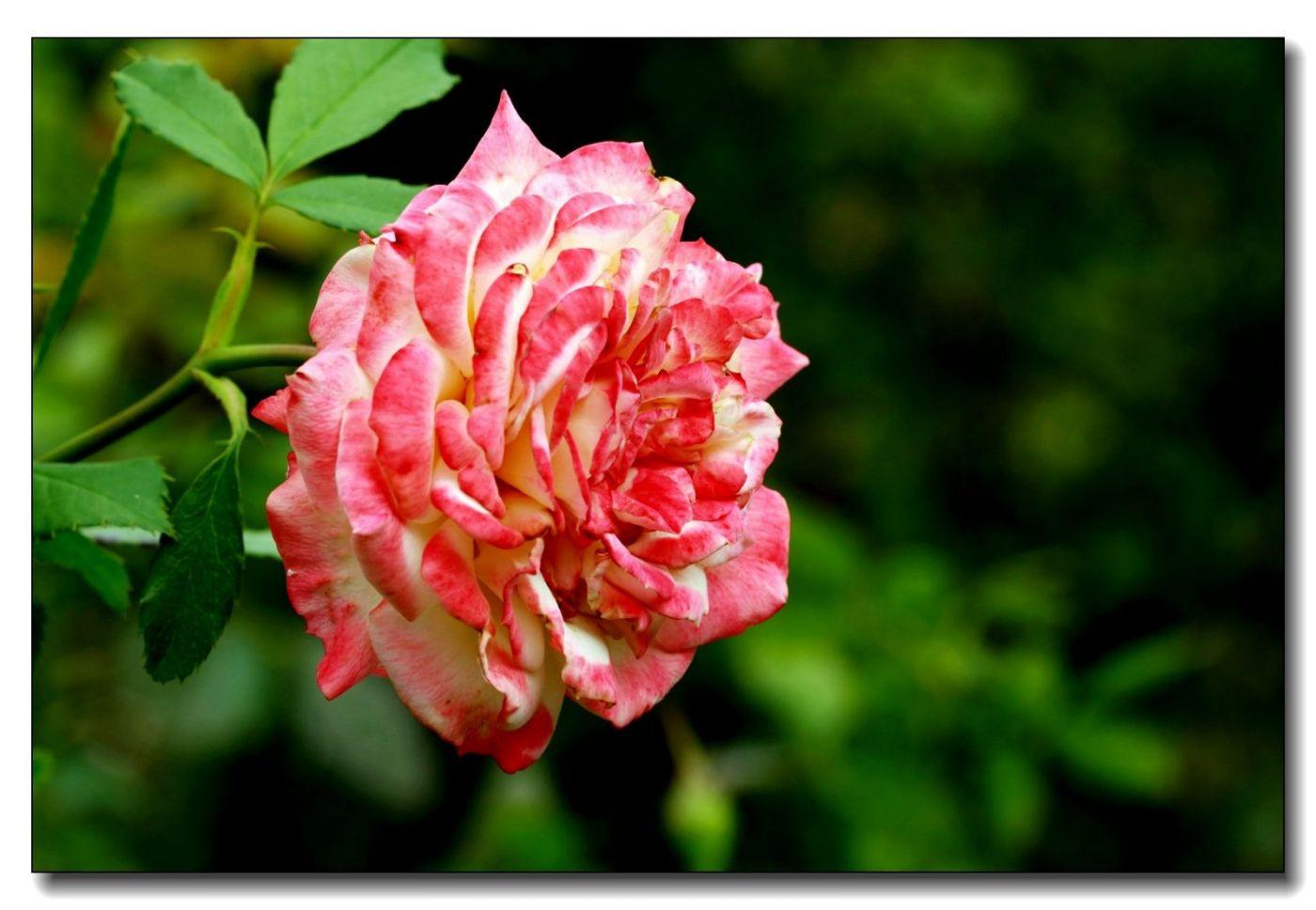 秋季玫瑰仍飘香_图1-7