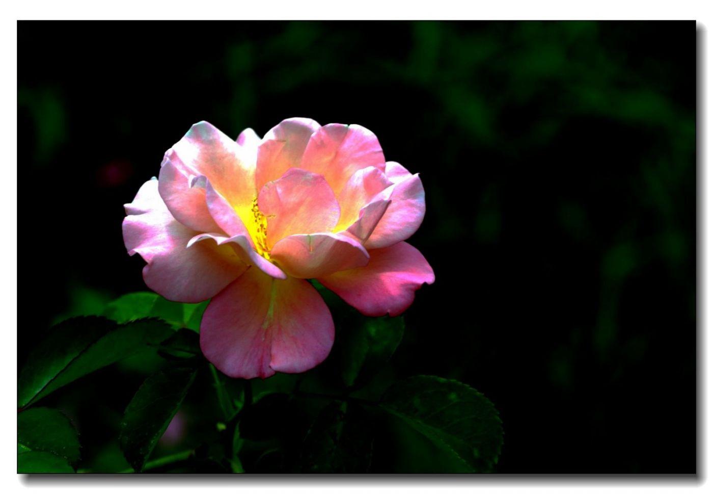 秋季玫瑰仍飘香_图1-9