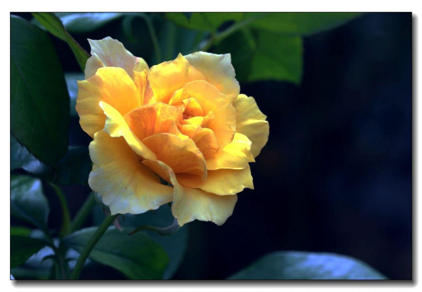 秋季玫瑰仍飘香_图1-11
