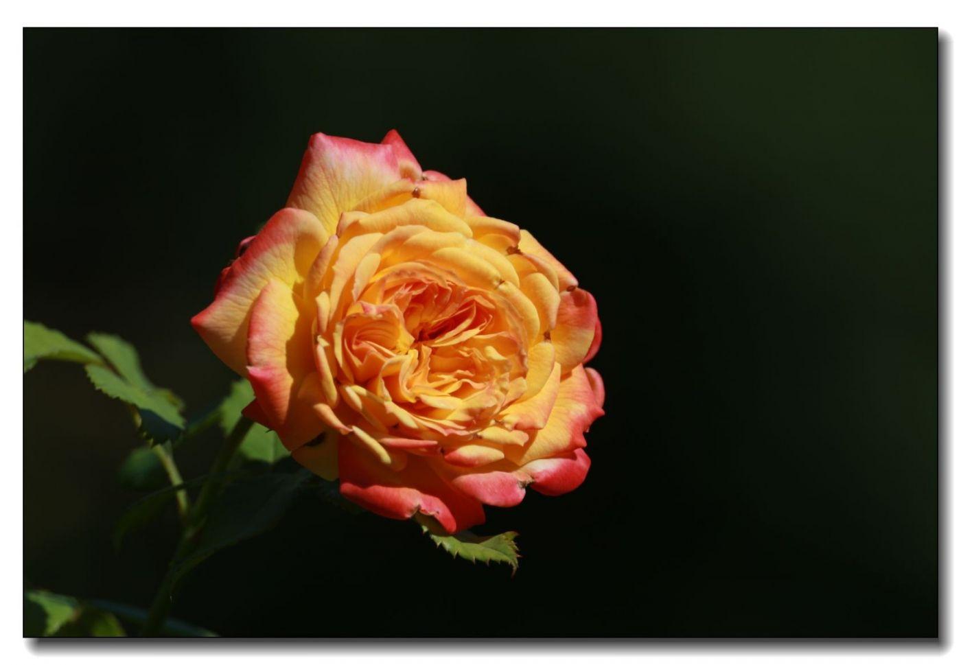 秋季玫瑰仍飘香_图1-13