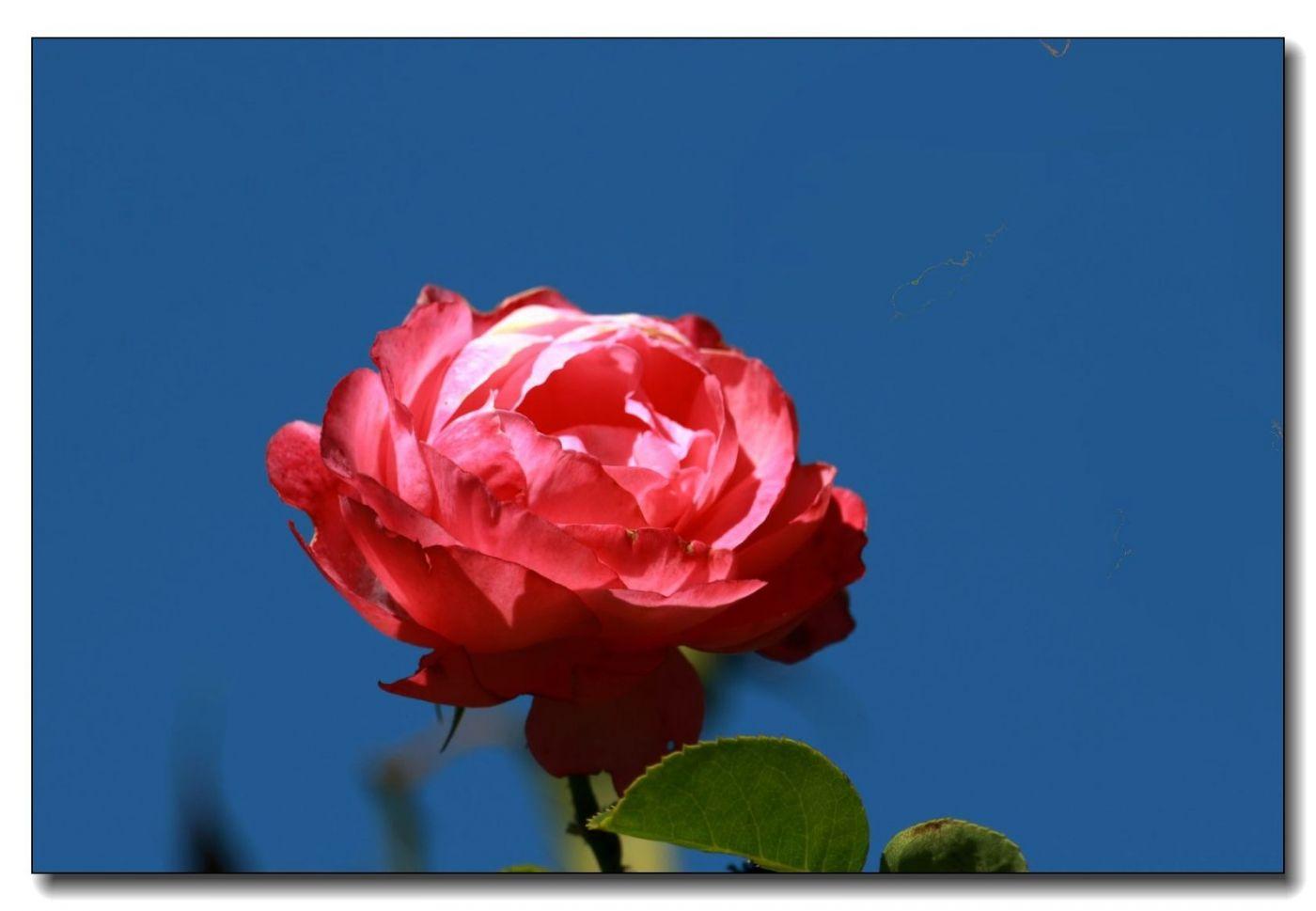 秋季玫瑰仍飘香_图1-14