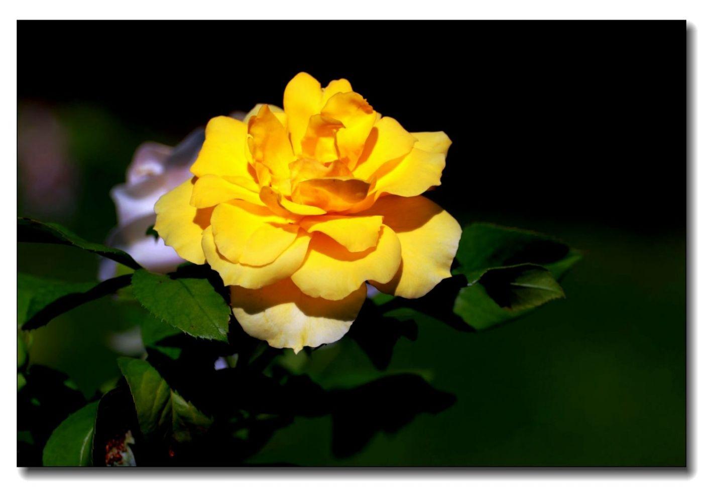 秋季玫瑰仍飘香_图1-15