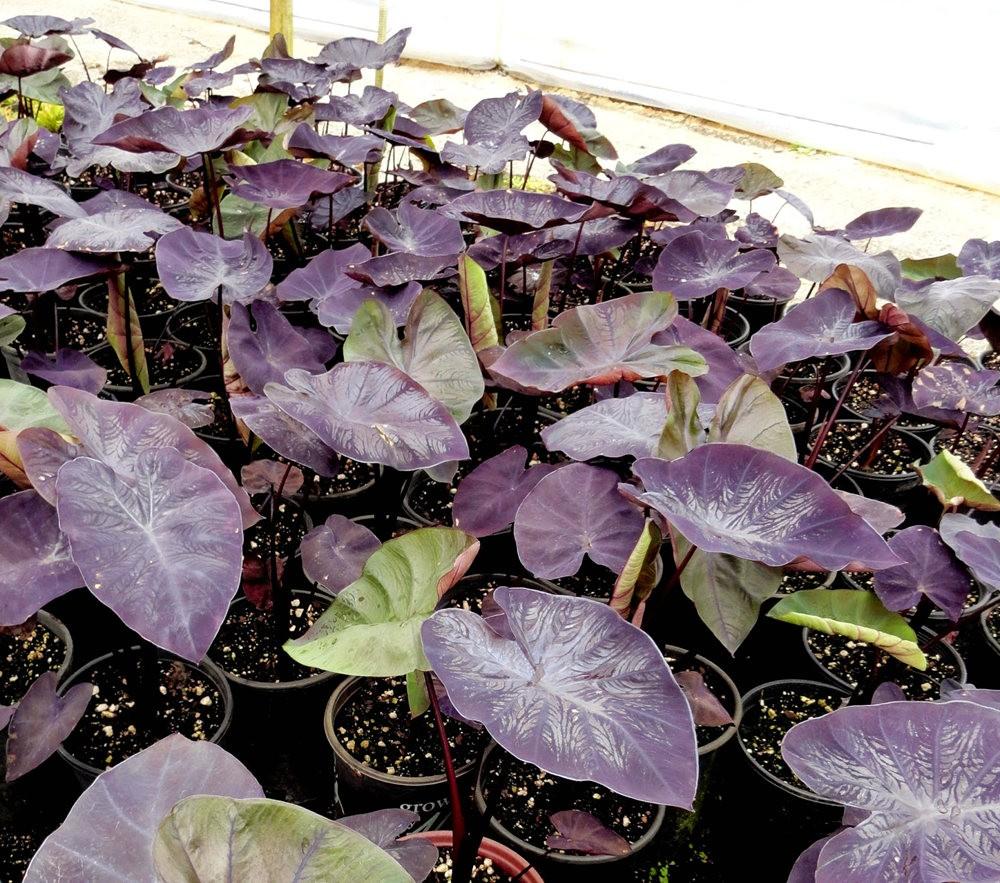 参观Rare Plant Research 苗圃花园_图1-9