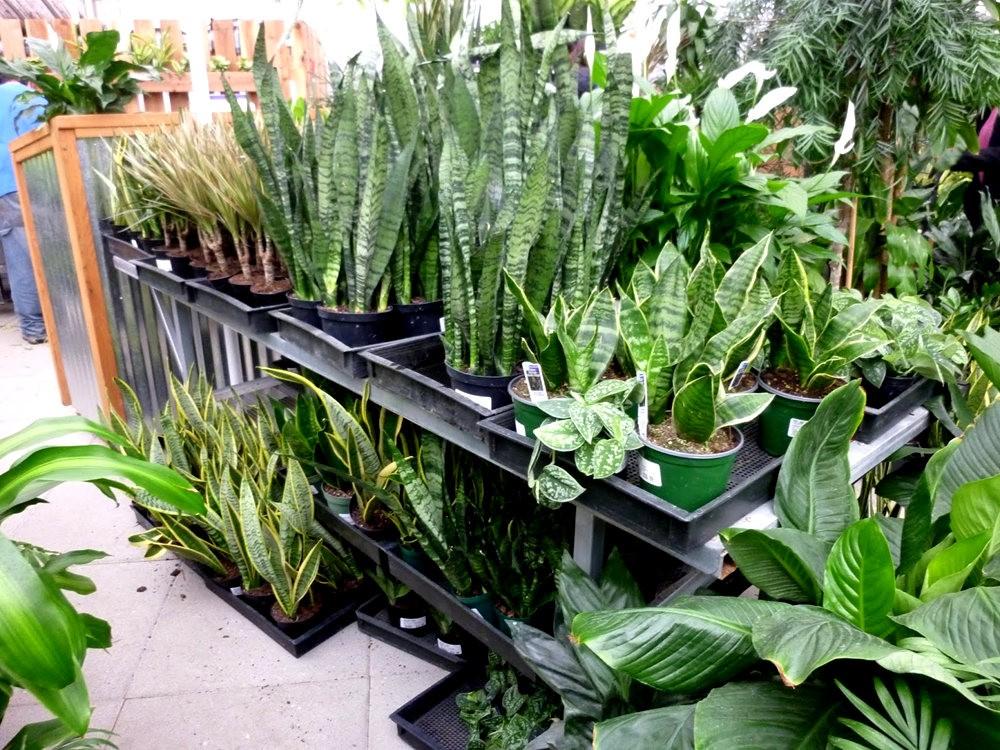 波特兰苗圃出售的室内观赏植物_图1-7