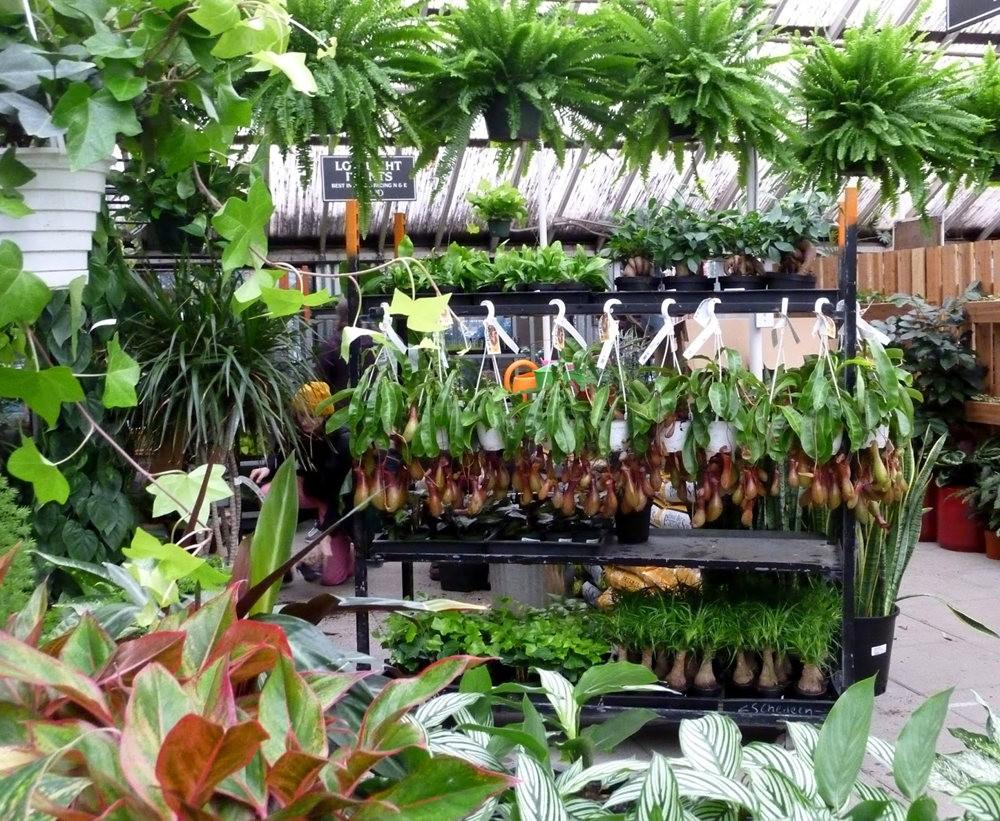 波特兰苗圃出售的室内观赏植物_图1-11