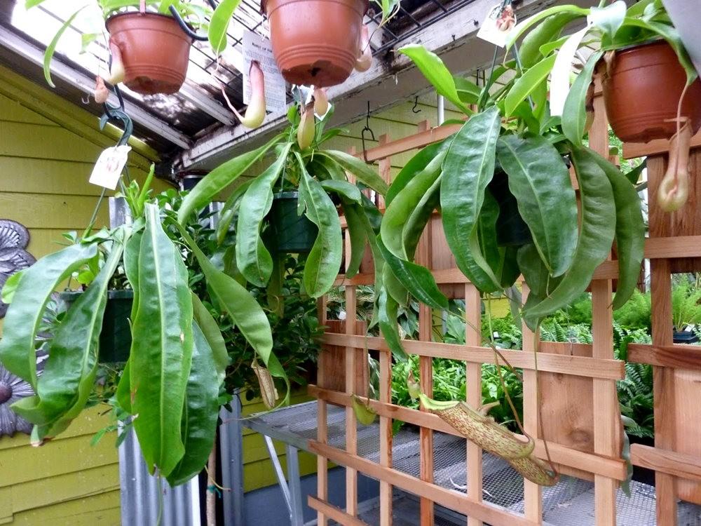 波特兰苗圃出售的室内观赏植物_图1-12