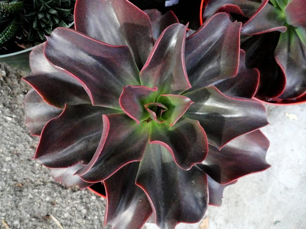 波特兰苗圃出售的室内观赏植物_图1-22