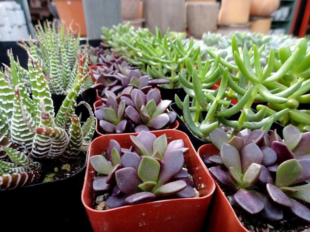 波特兰苗圃出售的室内观赏植物_图1-23