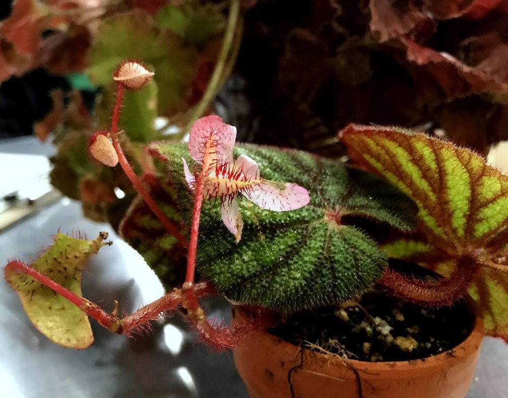 波特兰苗圃出售的室内观赏植物_图1-26