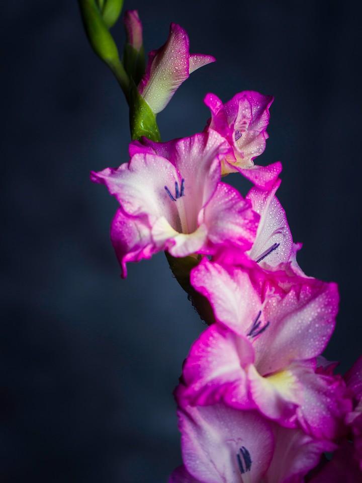 菖兰花,细细观赏_图1-15