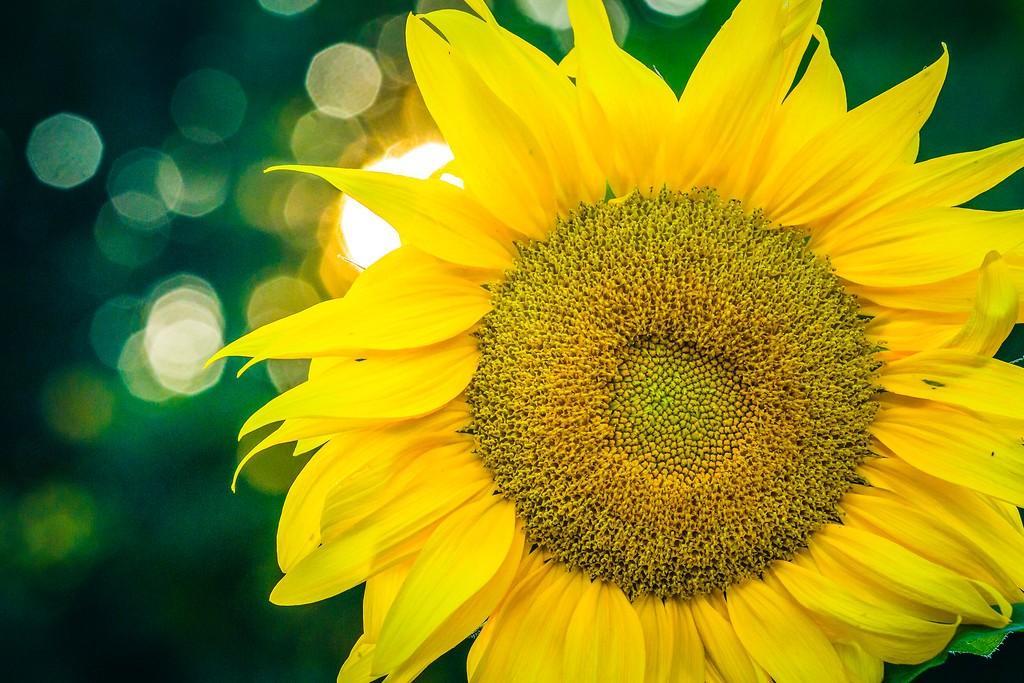 向日葵,迎着阳光_图1-17