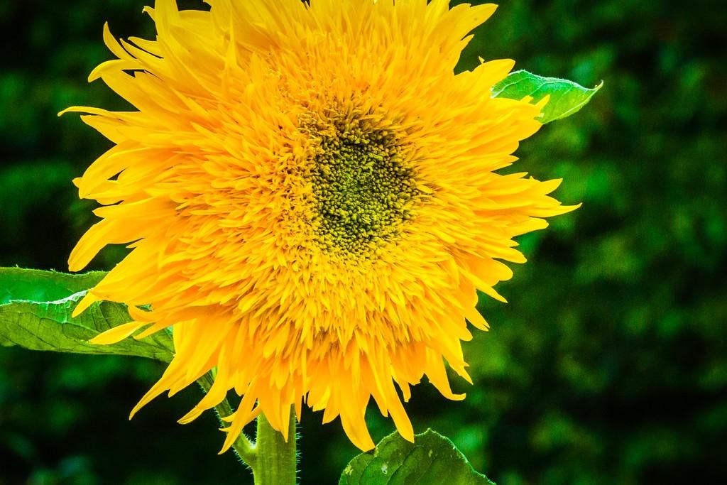 向日葵,迎着阳光_图1-16