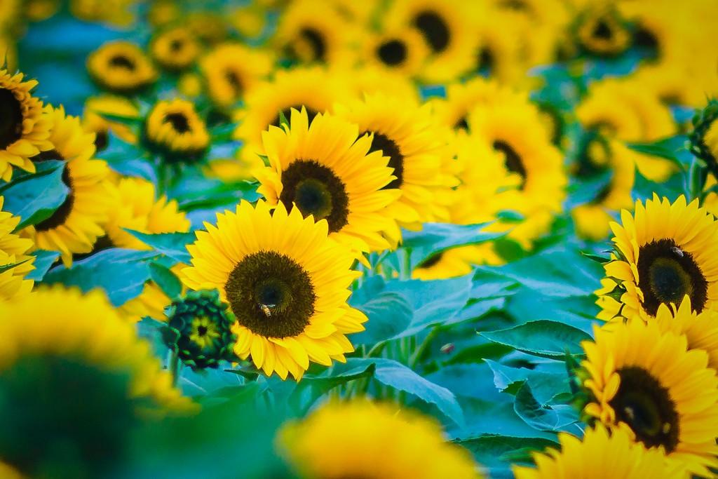 向日葵,迎着阳光_图1-1