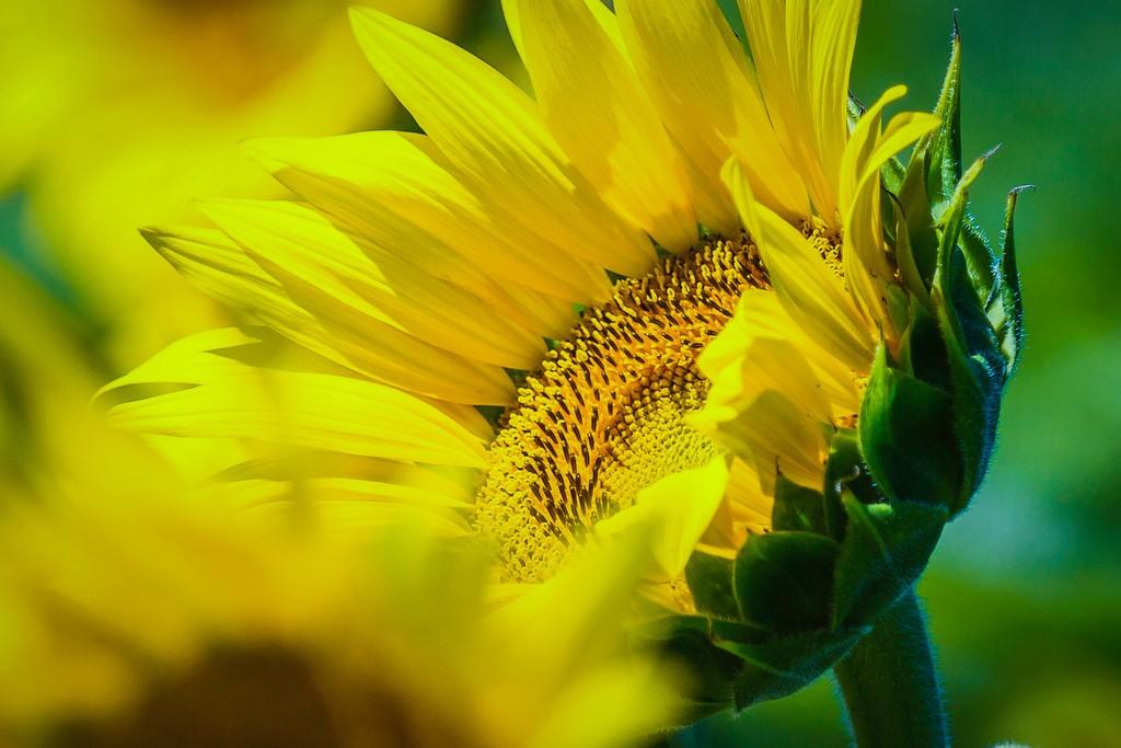向日葵,迎着阳光_图1-5