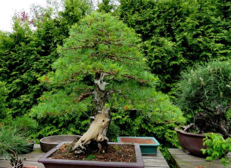 禅宗花园中的盆景树展览_图1-4