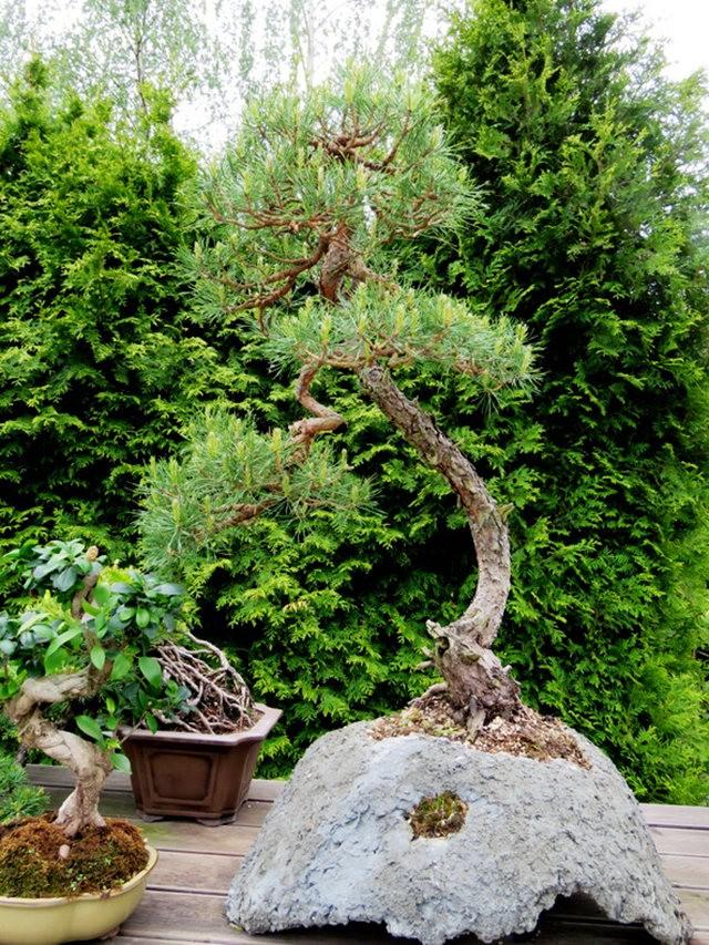 禅宗花园中的盆景树展览_图1-10