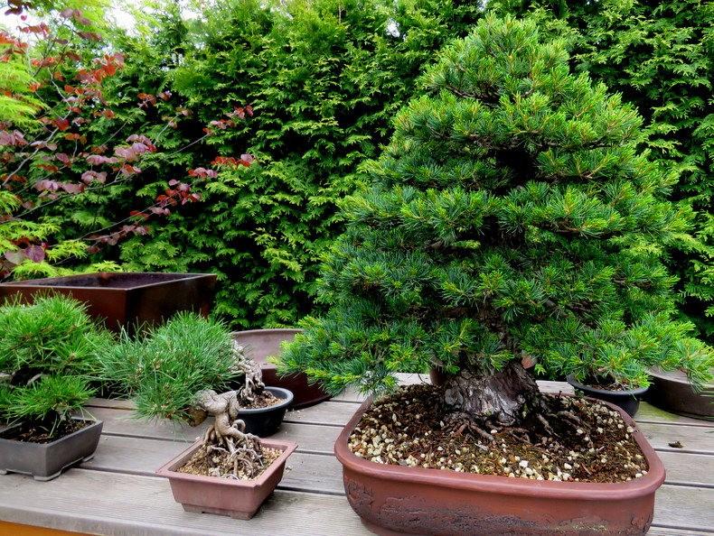 禅宗花园中的盆景树展览_图1-12