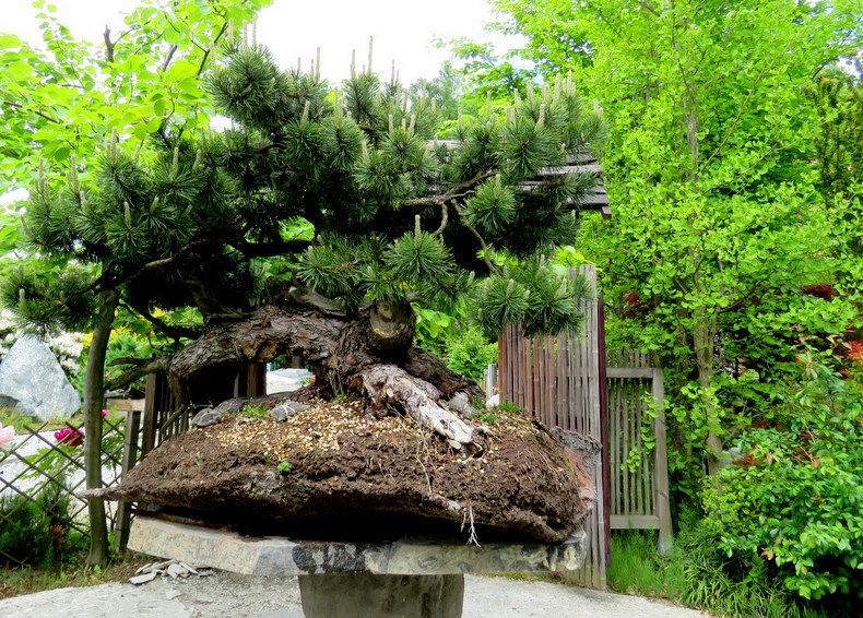 禅宗花园中的盆景树展览_图1-13