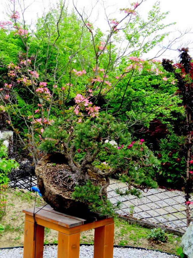 禅宗花园中的盆景树展览_图1-15