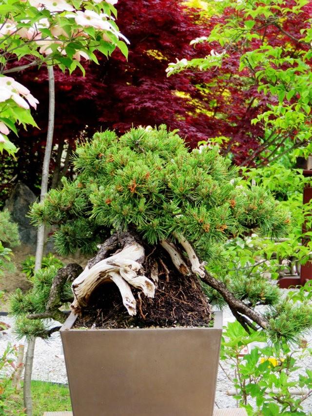 禅宗花园中的盆景树展览_图1-17