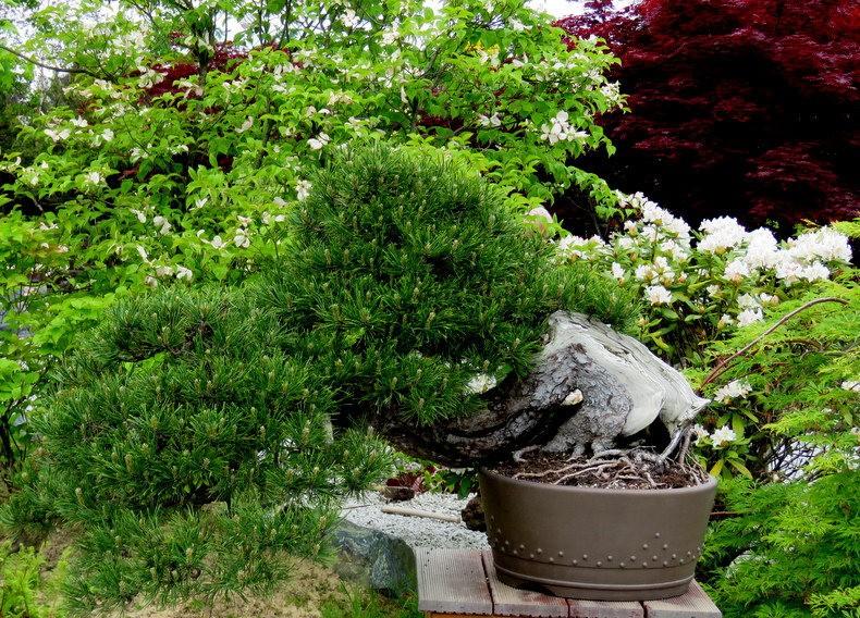 禅宗花园中的盆景树展览_图1-19