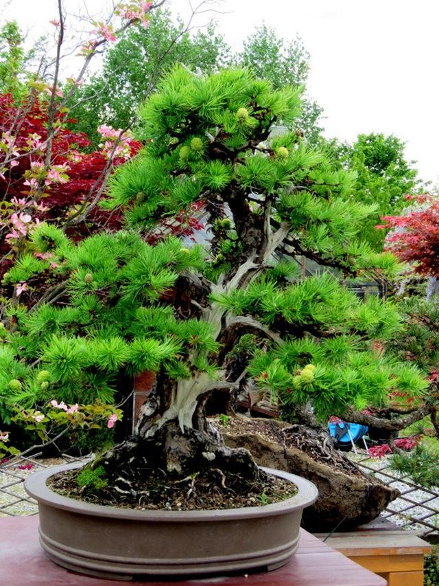 禅宗花园中的盆景树展览_图1-21