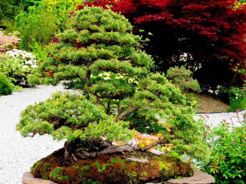禅宗花园中的盆景树展览_图1-22