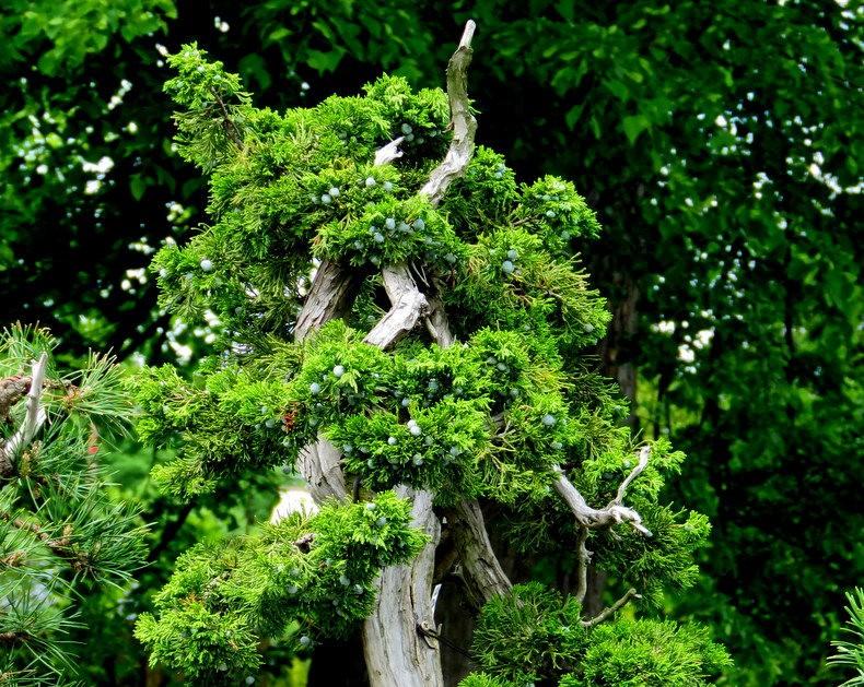 禅宗花园中的盆景树展览_图1-23